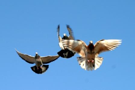 vliegende sport duiven