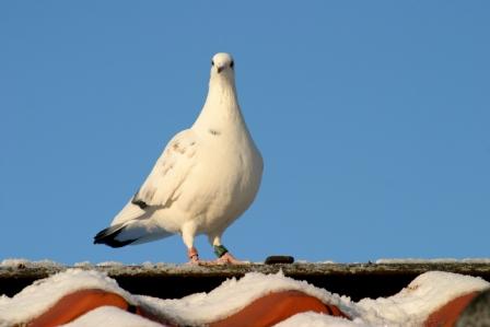 Sportduif (Falco Ebben)