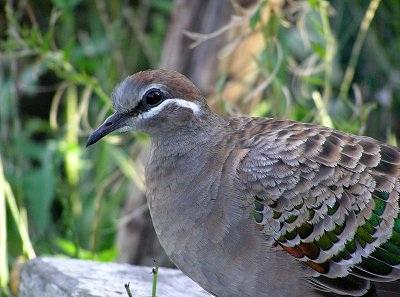 Bronsvleugelduif - duivin (J.Harteman, Aviornis Nederland)