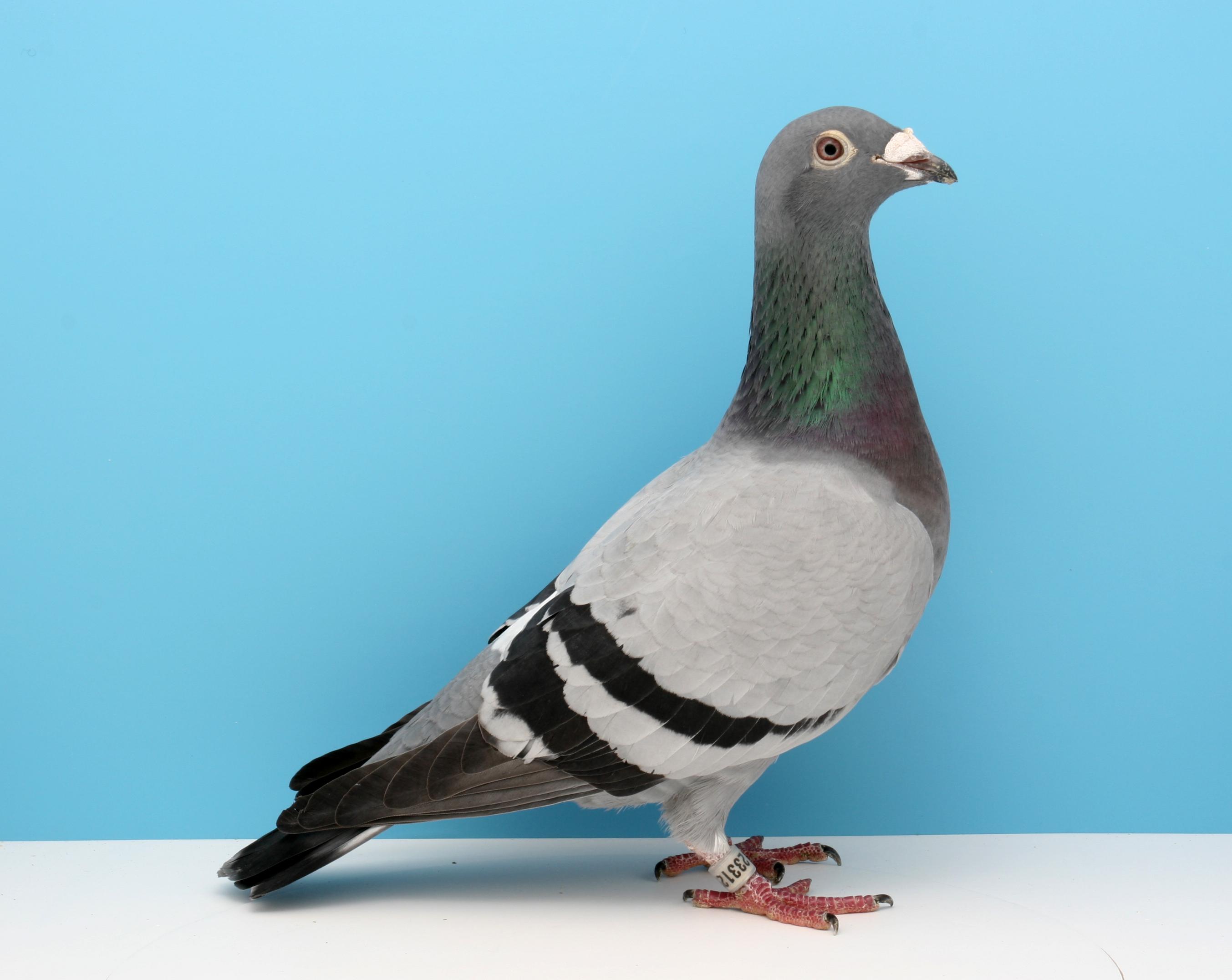 Duivin (Falco Ebben)