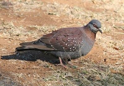 Guineaduif (Jaap Korten, Avornis Nederland)