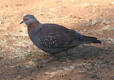 Guineaduif
