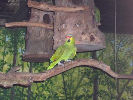 Geelwang Amazone (Winny Weinbeck)