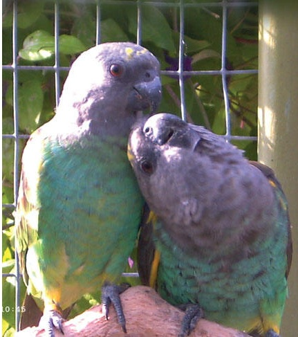 Meyers papegaai (Pakara)
