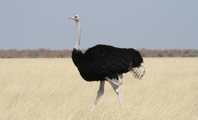 Struisvogel haan