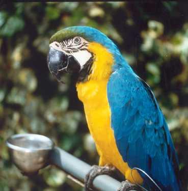 Blauwgele ara (Pakara)