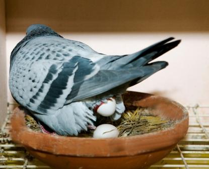 Eileggende duivin (Falco Ebben)
