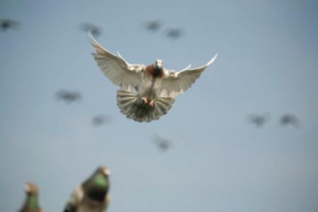 sport duiven