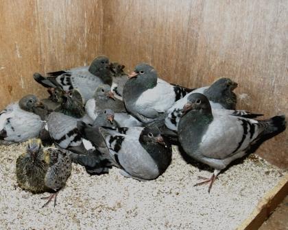 sport duiven in kooi