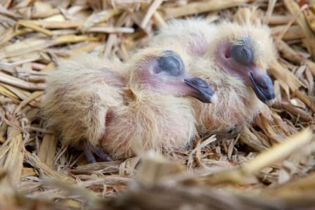 Jonge Duif van 3 dagen oud (Falco Ebben)