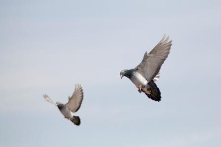 sport duiven loslaten voor een vlieg wedstrijd