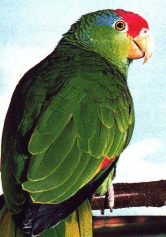 Groenwang Amazone (Pakara)