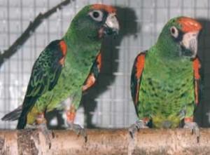 Kongo papegaaien