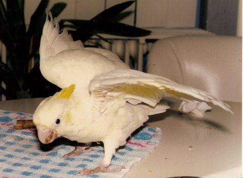 Kleine Geelkuifkakketoe (Pakara)