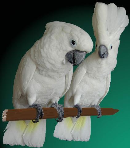 Witkuif Kaketoe (Pakara)
