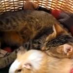 kat vriend van cavia