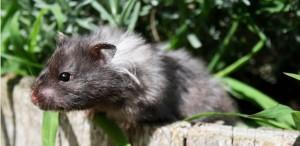 Syrische Hamster (foto DRD hamsters)