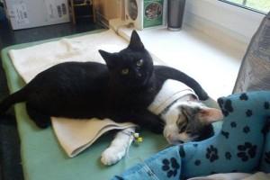poes waakt over zieke kat