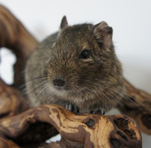 Degoe (Hammie Hamsterforum)