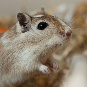 Gerbil (Hammie Hamsterforum)