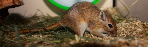 Mongoolse Gerbil  (Hammie Hamsterforum)