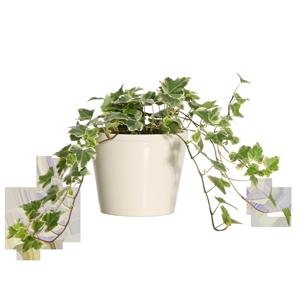 giftige kamerplant hedera