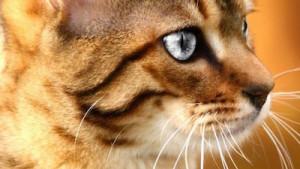 katten-meerdere-malen-gedomesticeerd