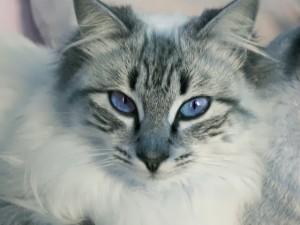 piepvandaag-kat-met-blauwe-ogen