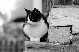 piepvandaag-kat-zwart-wit