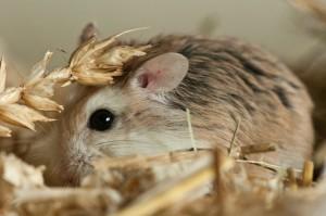 Roborovski Hmster (foto Hammie Hamsterforum)