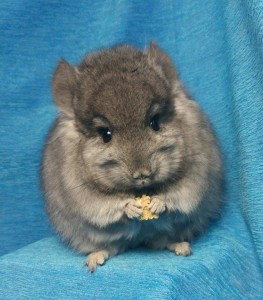Chinchilla (© Ad Bemmelmans)