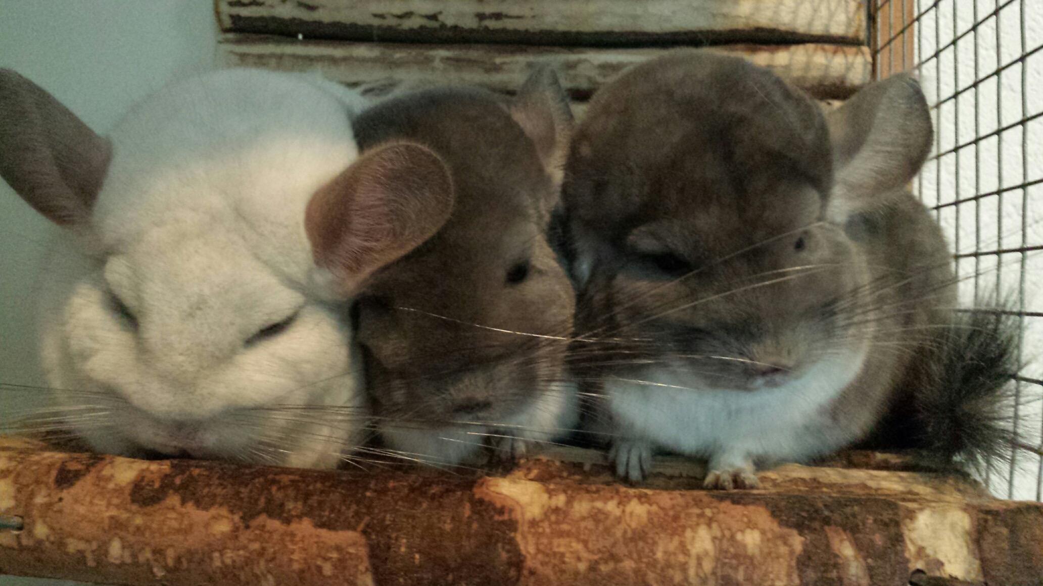 Chinchilla: Benodigdheden | Platform Verantwoord Huisdierenbezit
