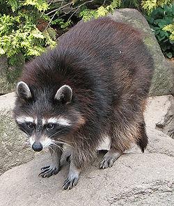 250px-Raccoon_(Procyon_lotor)_1