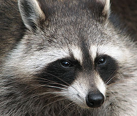 270px-Raccoon_(Procyon_lotor)_2