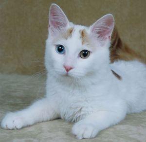 Turkse Van kitten Hediye von Kedi Van Alexis