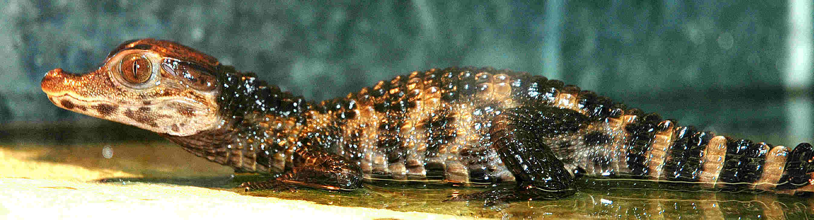 Paleosuchus palpebrosus hatchling Rdam Zoo 2 Dsc_0310 (2)