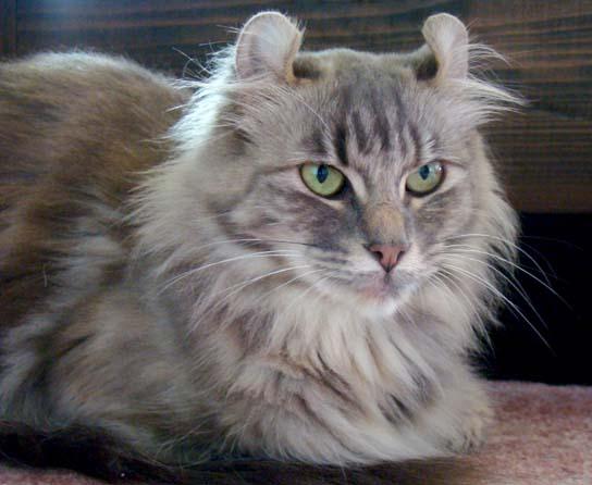 american-curl-longhair