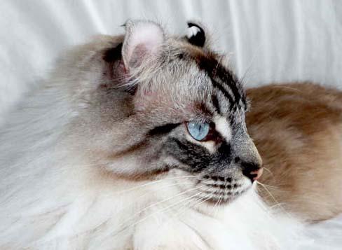 american-curl-longhair4