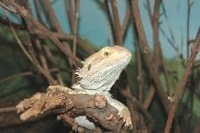 amphibolurus_vitticeps20050430_020