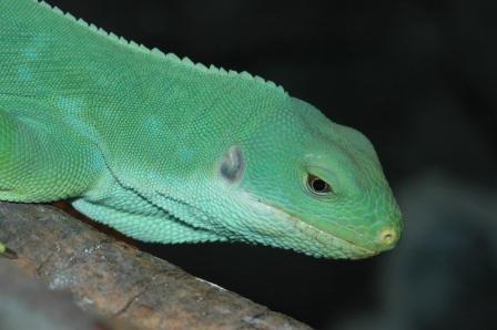 brachylophus_fasciatus_StLouisZooUS165
