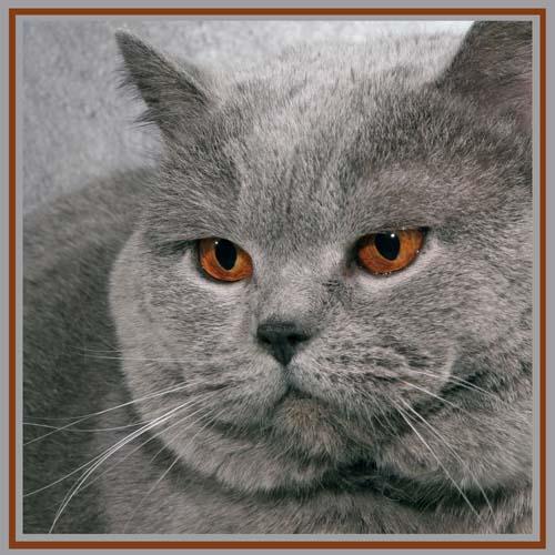Ongekend Brits Korthaar | Platform Verantwoord Huisdierenbezit NL-89