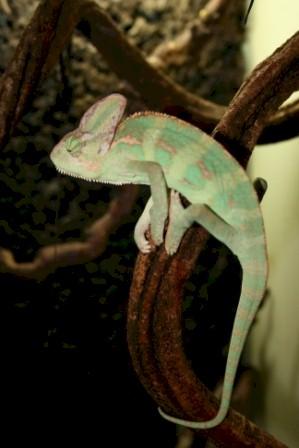 chameleo_calyptrates