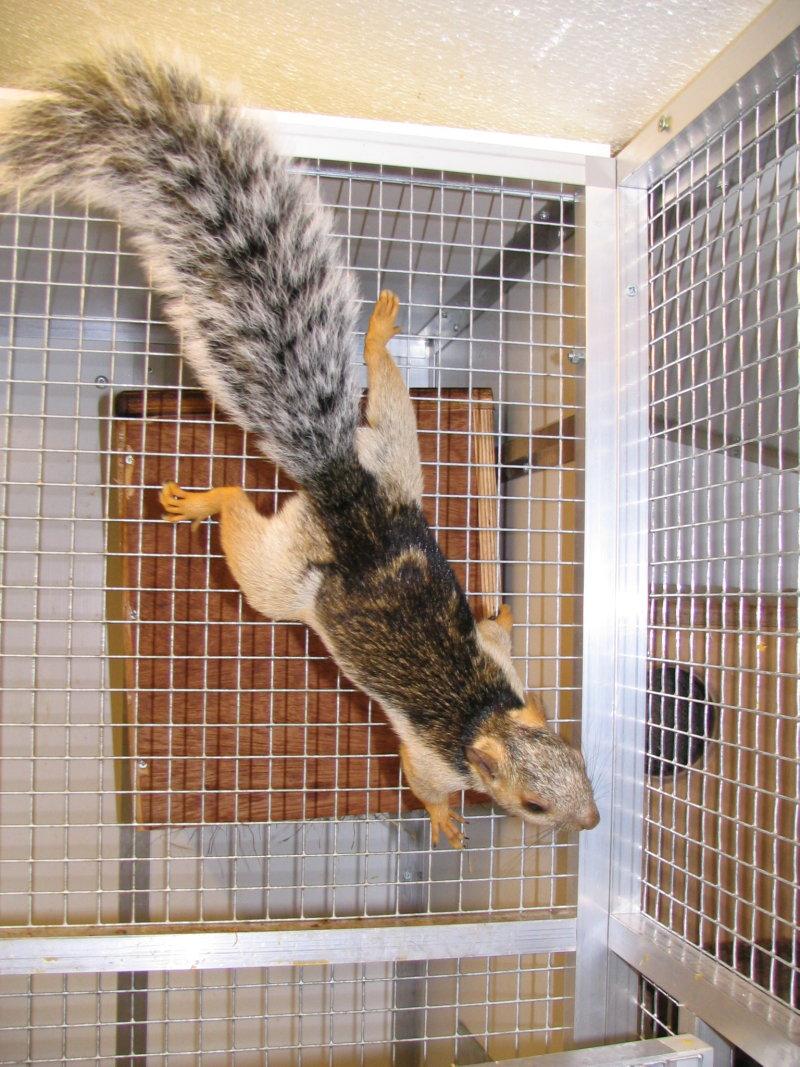 welke eekhoornsoort nederland