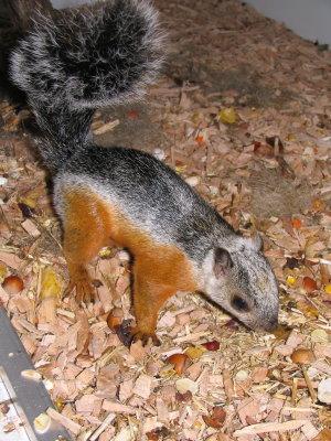 eekhoorn midden amerika