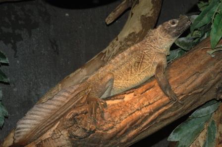 hydrosaurus_pustulatus_male_RdamZoo089