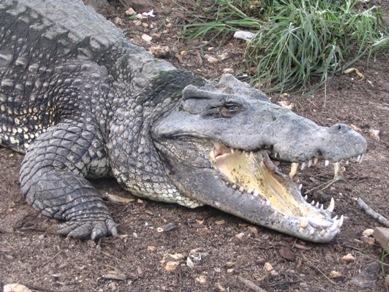 krokodil195