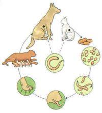 levenscyclus-Echinococcus-multilocularis