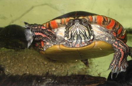 oostelijke_sierschildpad