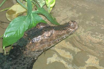 paleosuchus_palpebrosus_StLouisZoo-US056a