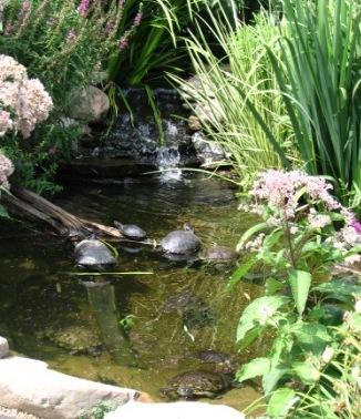 roodwang_en_sierschildpadden_in_buitenvijver